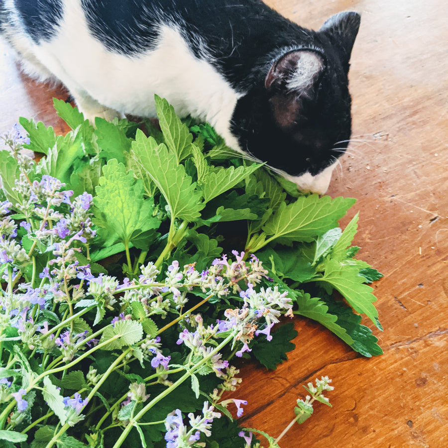 Kitty Cat Bouquet (Catnip & Catmint)