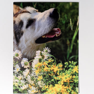 Maple the Malamute Postcard