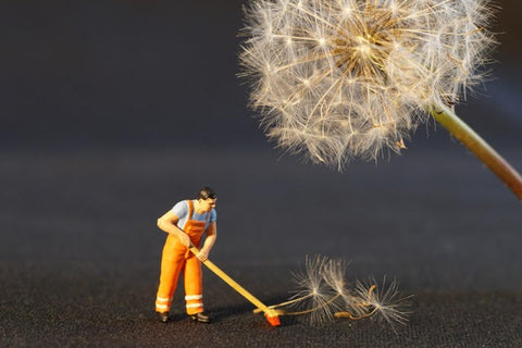 Small man cleans under a dandelion