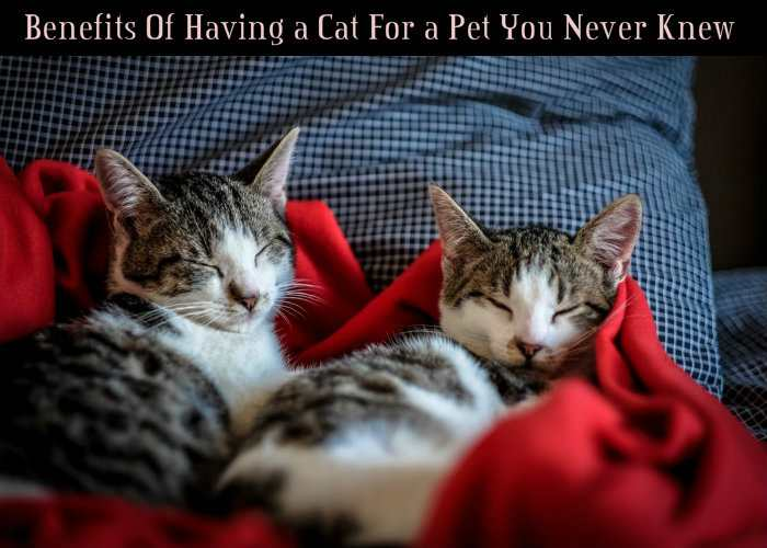 Benefits Of Having a Cat For a Pet You Never Knew