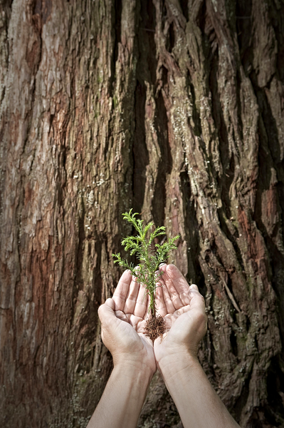 Plant A Redwood Tree In Honor Or Memory A Living Tribute