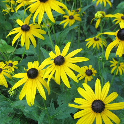 Tidy Thyme loves Black Eyed Susans!
