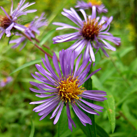 Tidy Thyme 100% plant-based home and cleaning: New England Aster