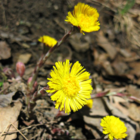 Tidy Thyme Natural Plant-Based Home and Cleaning Products is delighted to see spring come in, here in the form of sunny coltsfoot flowers along the roadside.