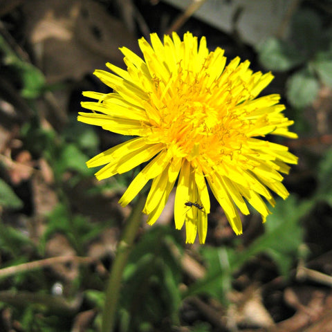 Green Genies Ecological Green Cleaning Service just LOVES dandelions! The bees love them, plus you can eat the leaves and flowers, and the roots are powerful medicine.