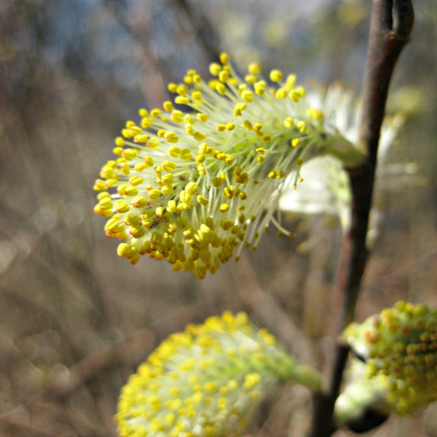 Tidy Thyme Plant Based Natural Home and Cleaning Products loved that the pussy willows we photographed earlier have exploded into these happy yellow pompoms! Spring is charming!