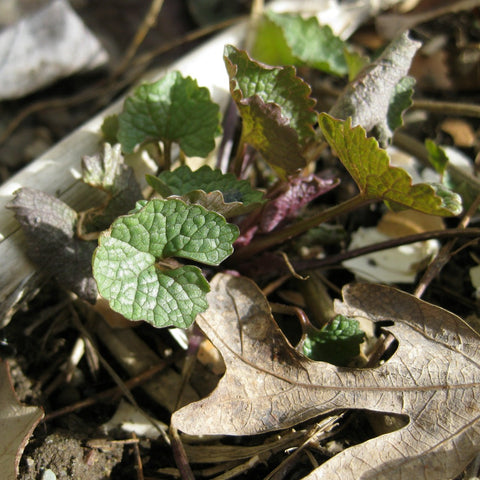 Tidy Thyme 100% Plant-Based Cleaning and Home is excited for all signs of spring's arrival, like this little garlic mustard all green and cute (and tasty!)