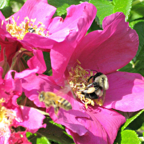 Green Genies Ecological Cleaning Service was tickled to see all the bees gathering pollen in these newly opened roses. We love to support pollinators with native plants and pesticide free living. Bumblebees in roses are so ecstatic and charming!