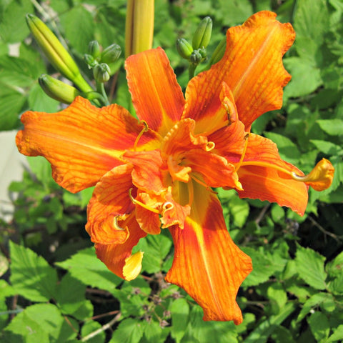 Green Genies Ecological Cleaning Service loves that daylilies are erupting into bloom all over! Their cheery bright orange announces that midsummer is in full swing.