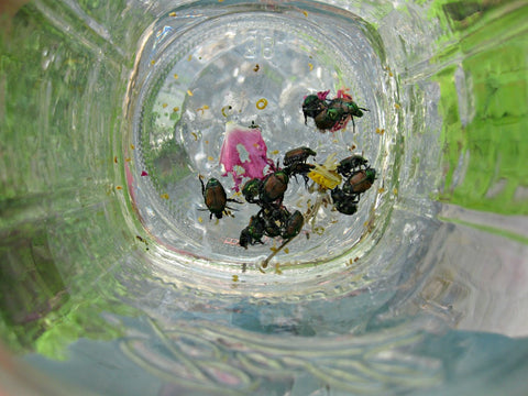 Green Genies Ecological Cleaning Service uses a large jar with some water in the bottom to catch those pesky japanese beetles. Organic, pesticide free gardening means doing somethings by hand, like picking off bugs, but the benefits to the ecosystem is totally worth it!