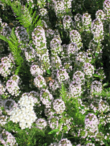 Green Genies Ecological Cleaning Service is so happy to see all the honeybees that are in the flowering thyme.