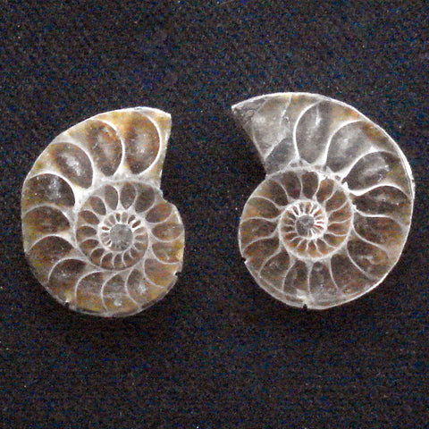AMMONITE. Jurassic. Madagascar. 4x15x20mm (F114)