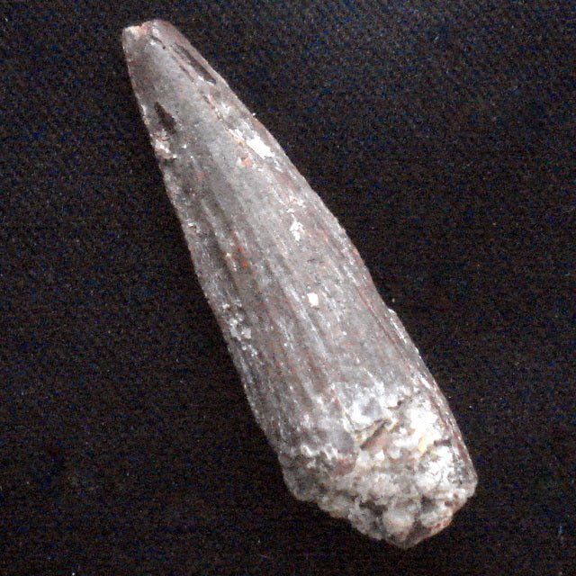 DINOSAUR TOOTH. Cretaceous. Moroccco. 12x15x47mm (F122)