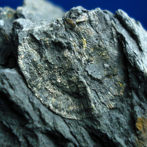 FOSSIL BRACHIOPOD (pyritised). Early Devonian. Zeehan, Tasmania.(F41)