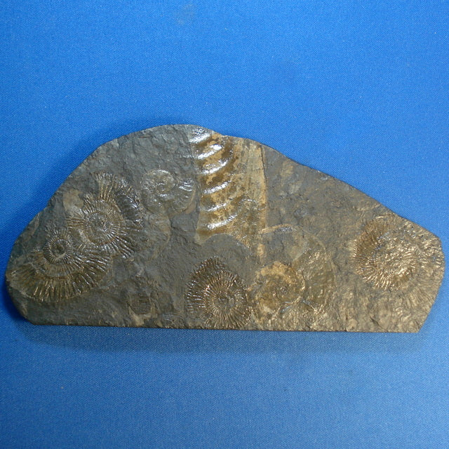 AMMONITES. Early Jurassic. Forcheim, Germany. 7x70x150mm (F81)