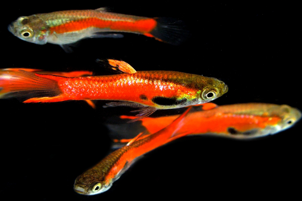 Red Line Endler Pair