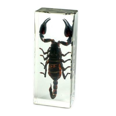 A real large black scorpion encased in a rectangular acrylic prism.