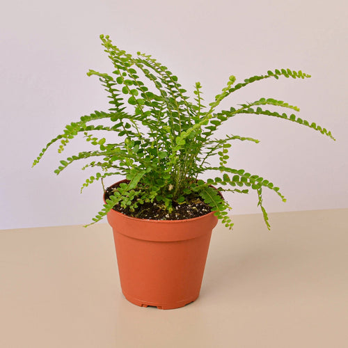 Lemon Button Fern - 4