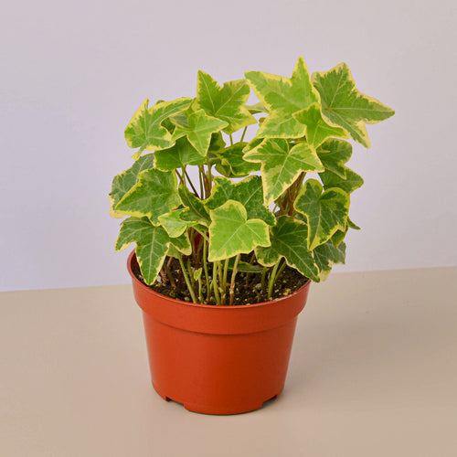 English Ivy Gold Child - 4