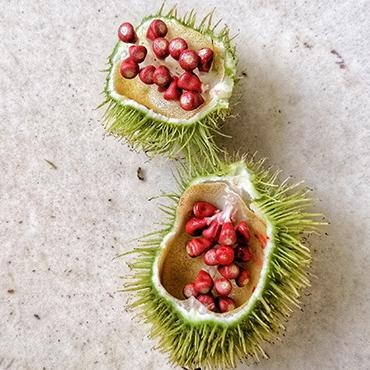 Ingredient: Annatto seed - AsantePlantBased