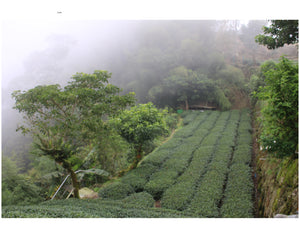 a small garden in Taiwan on the Alishan Mountain growing tea plants in a sustainable manner