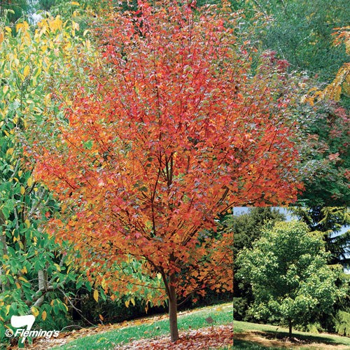 ACER RUBRUM FAIRVIEW FLAME