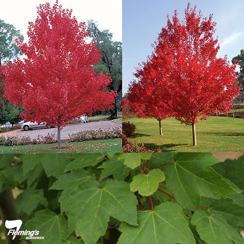 ACER RUBRUM OCTOBER GLORY REG