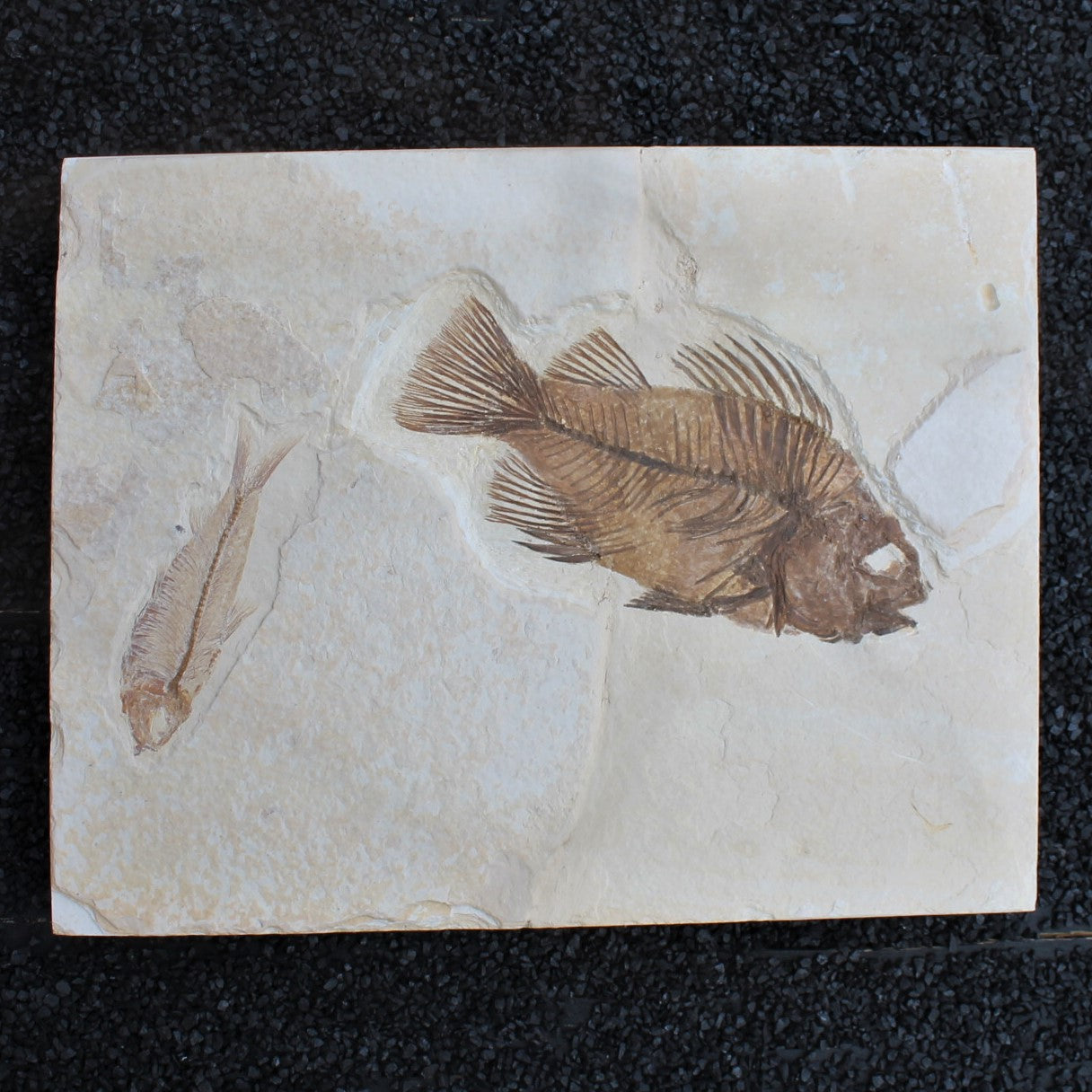 Priscacara Fossil with Second Fish