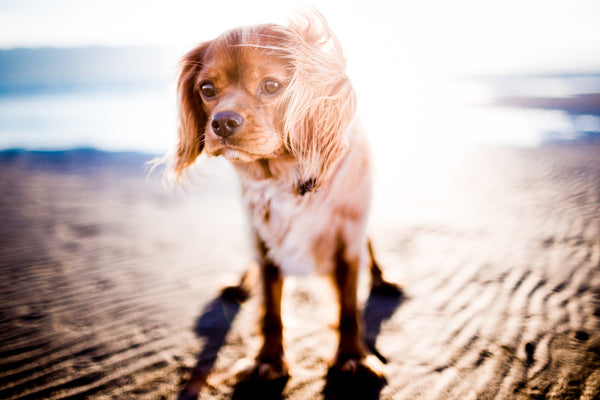 Protect Your Dog from Sunburn