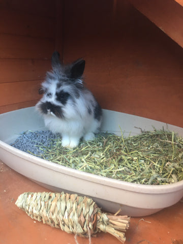 Sprinkles sits in a clean litter box with hay and a grassy carrot in front. It is clear she is a very small bunny