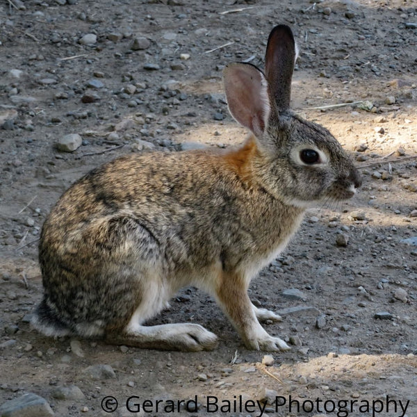 photograph card of a wild cottontail rabbit sitting sideways on a hiking trail.