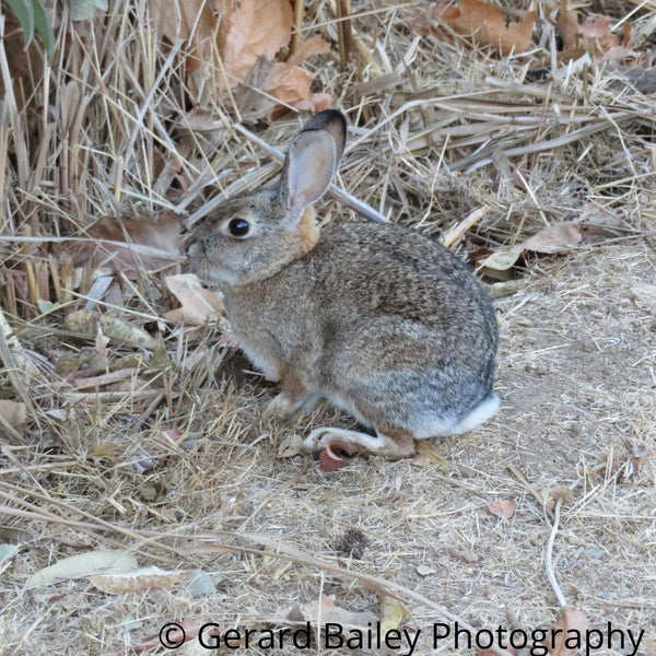 photography card of a small cottontail rabbit sitting sidways on some dried grass looking at longer grass.