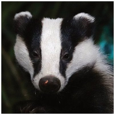Badger card 3
