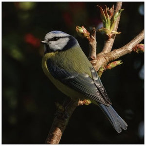 Blue Tit card 2