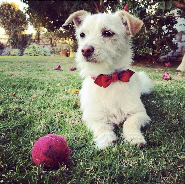 Our Favorite Fabulous Bowtie Leashes | LuxeMutt