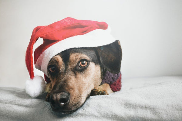 Tips for a Festive Fur Baby | LuxeMutt