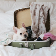 Bulldog sitting in suitcase