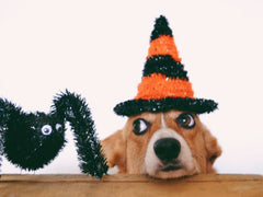 Corgi with Halloween hat and sparkly spider
