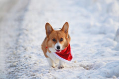 Corgi walking in the snow