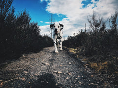 Dalmatian on path walking