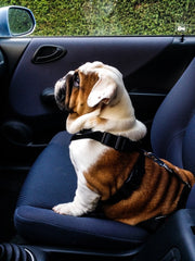 dog buckled in car
