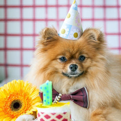 Pomeranian with birthday cake