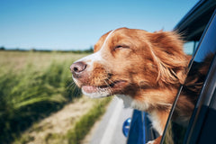 Dog with head out car window while driving