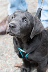 Black lab sitting in obedience class