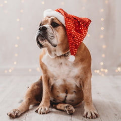 bulldog in Santa hat
