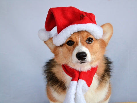 corgi wearing santa hat and scarf