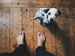 Dalmatian puppy sitting by owner's feet