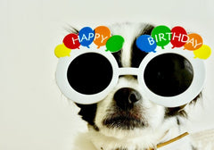 Dog wearing happy birthday sunglasses