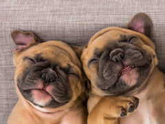 french bulldog puppies sleeping