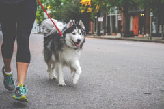husky on a walk with owner